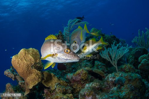 Caribbean marine life with the Schoolmaster (Lutjanus apodus) fish in Little Cayman - Cayman Islands