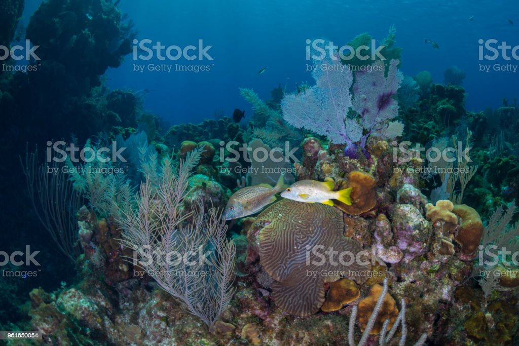 Schoolmaster snapper and white grunt royalty-free stock photo