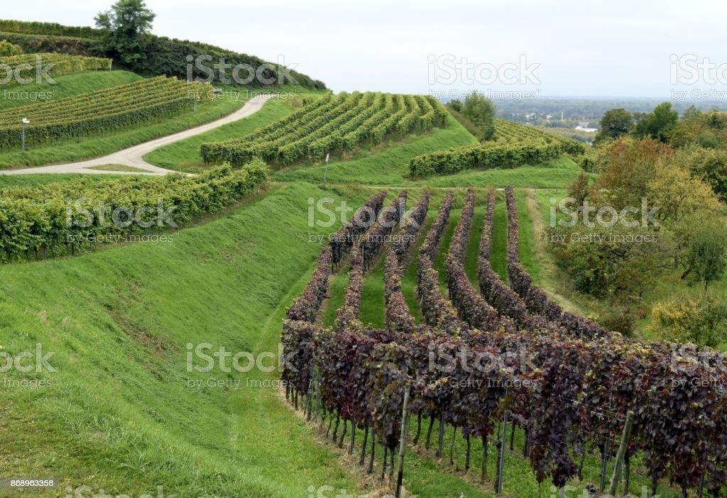 Schutterlindenberg vineyards stock photo