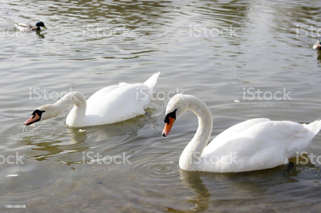 Schwanenpaar stock photo