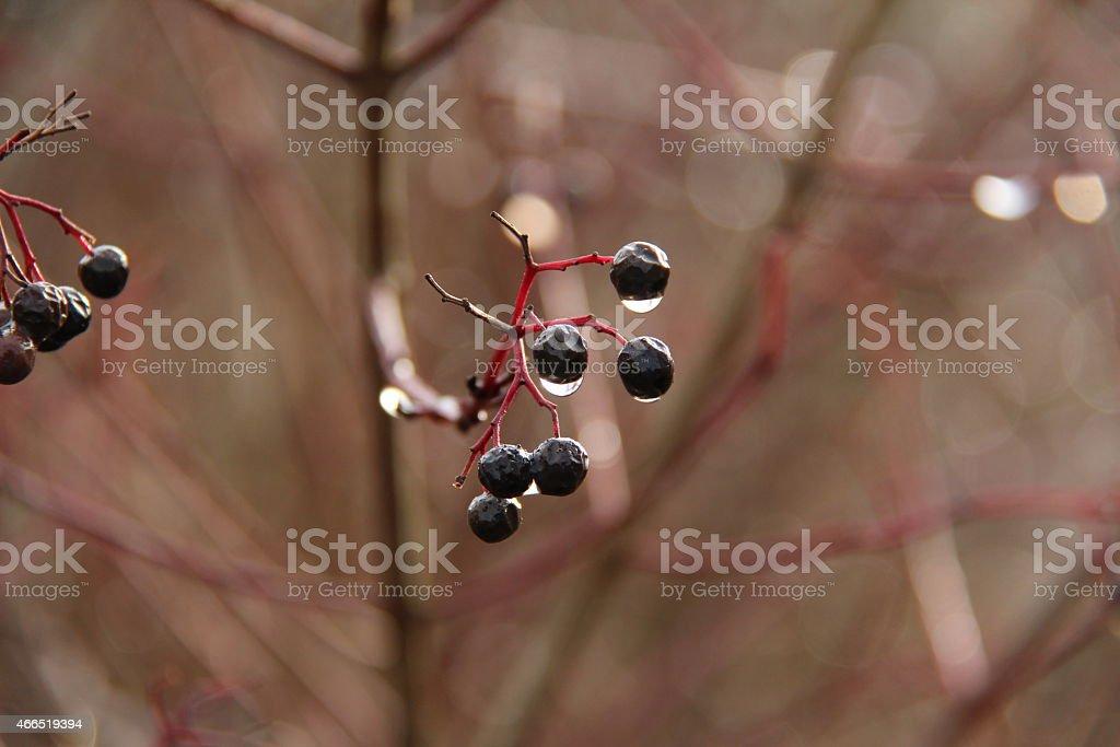 Schwarze Beeren stock photo