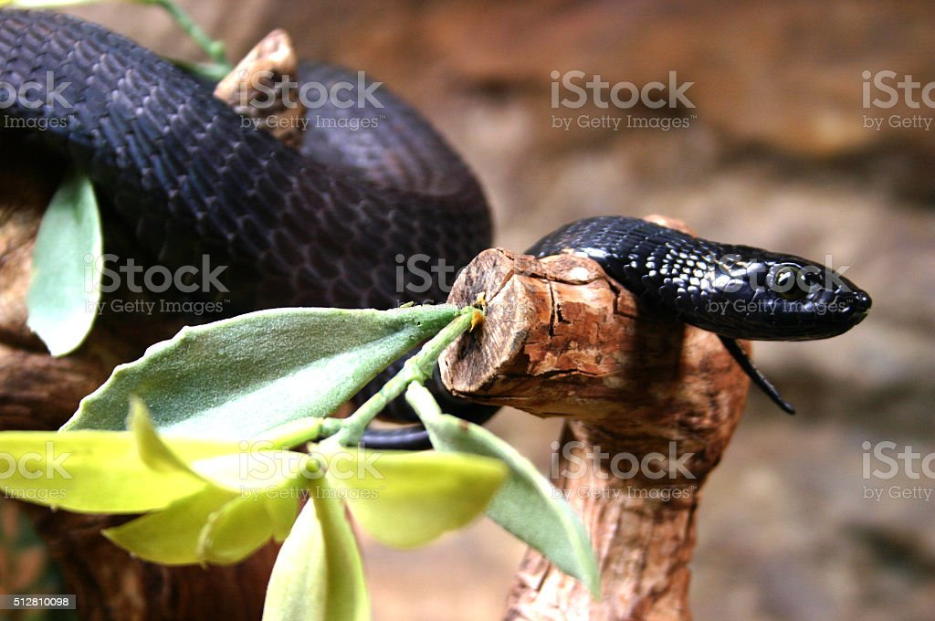 Schwarze Mamba stock photo