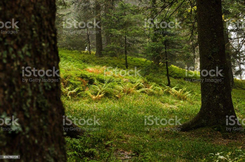 schwarzwald forest stock photo