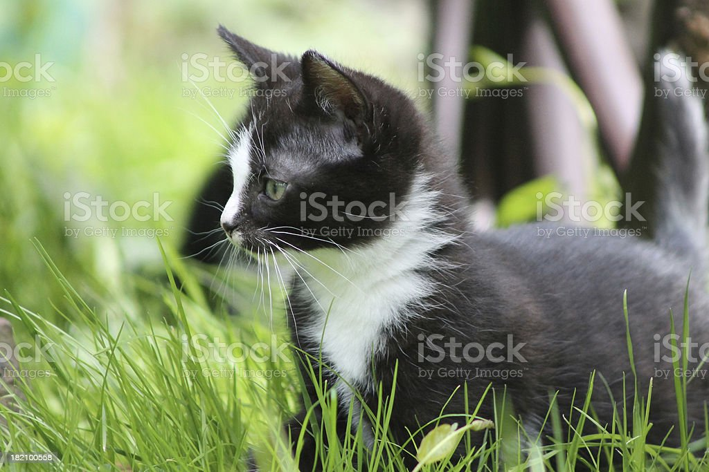 Schwarz-weisses Katzenbaby 3 royalty-free stock photo