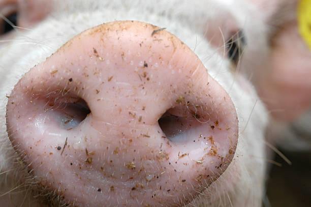 Schweinenase - Cute pig snout nose close-up stock photo