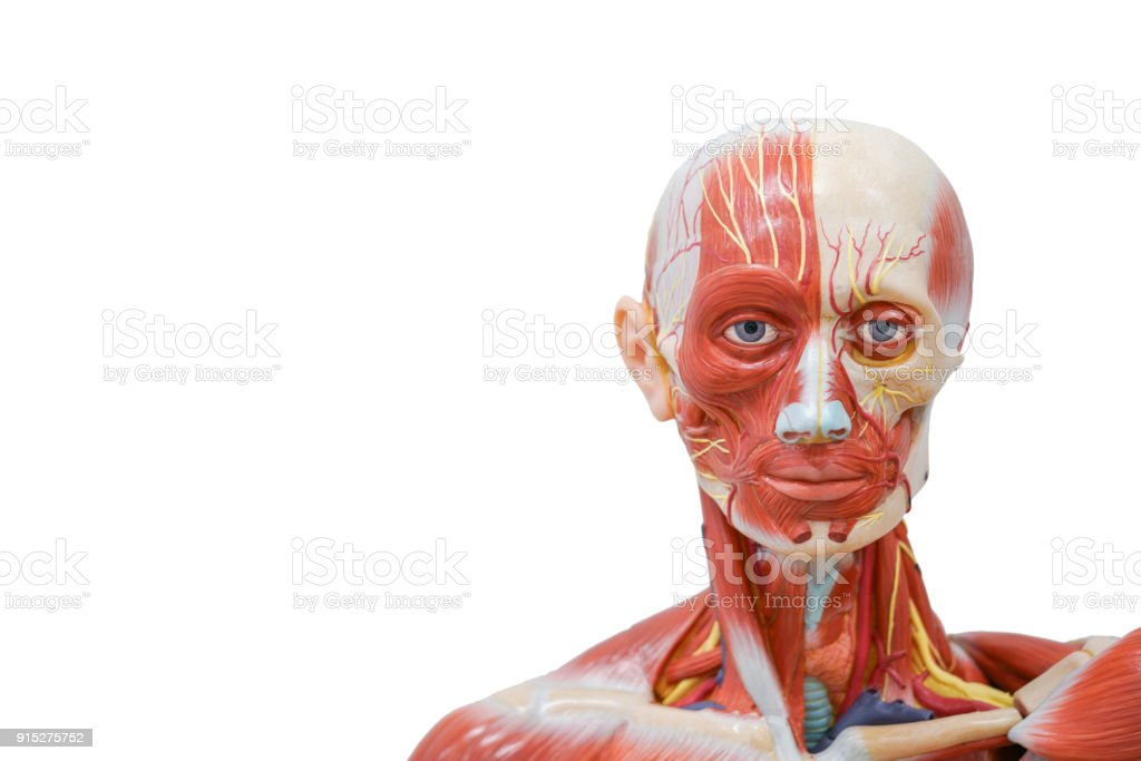Science Background Human Head Anatomy Model For Education Stock