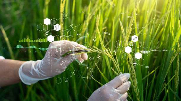 Science of plant research, Chromosome DNA and genetic, Development of rice varieties, Scientist researching and experiments genetic of rice with record data in the fields. stock photo