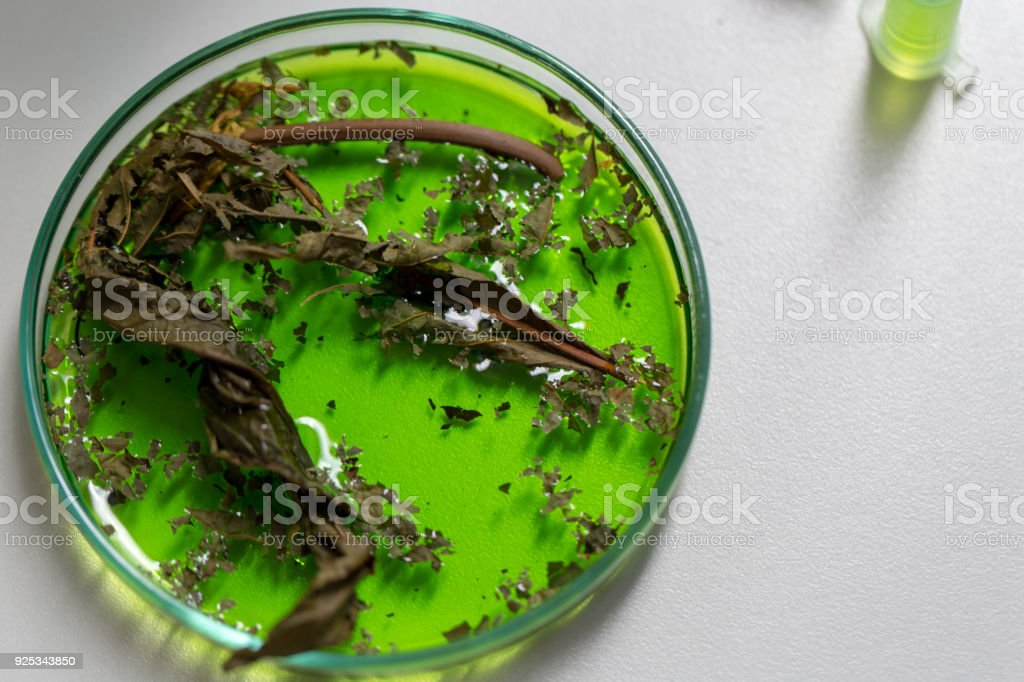 Science Research leaves of Mitragyna speciosa (kratom) and Chemical analysis  in Lab. stock photo