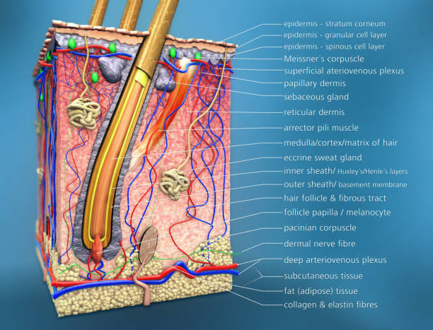 scientific 3d illustration of a cross section of hair follicle with description and anatomical function stock photo