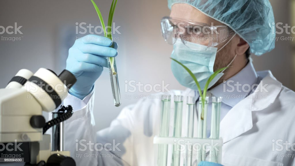 Scientific laboratory worker examining sprouts of artificially excreted cereals stock photo