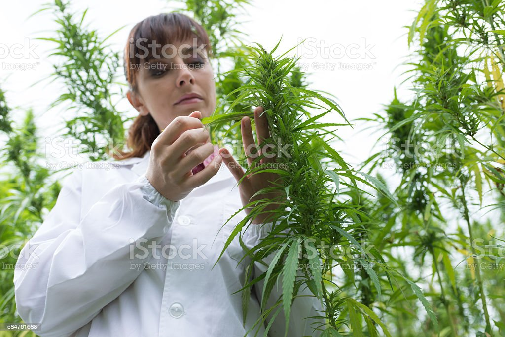 Scientist checking hemp flowers stock photo
