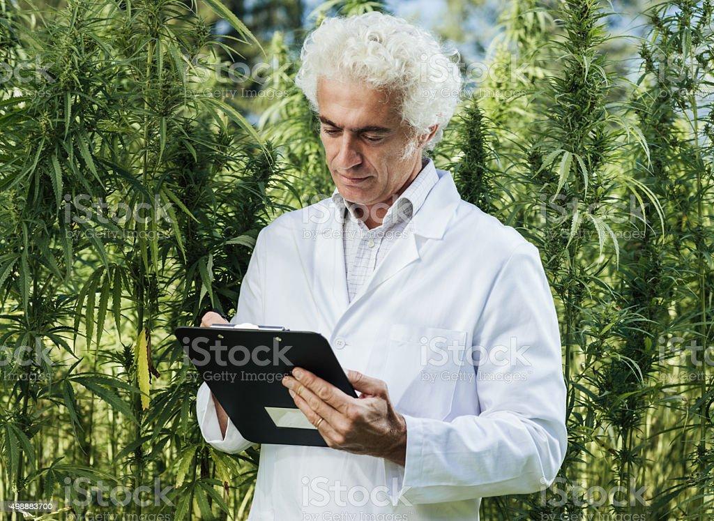 Scientist checking hemp plants stock photo