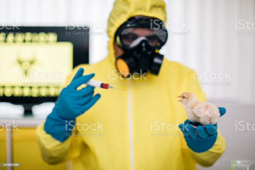 Scientist Conducts Experiments On A Baby Chicken Stock Photo
