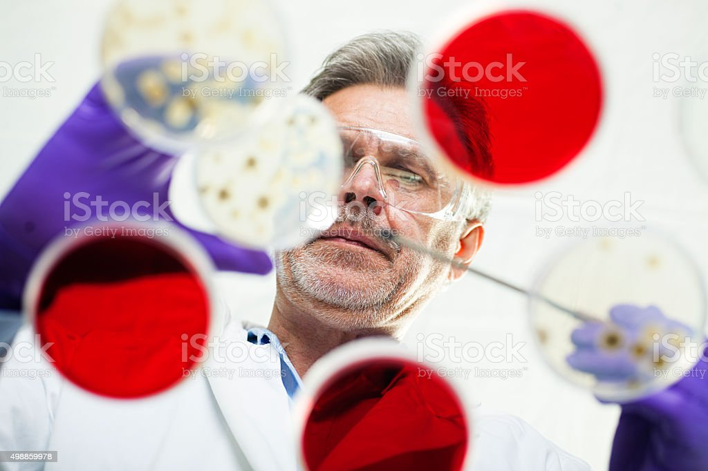 scientist examining cultures in petri dishes stock photo