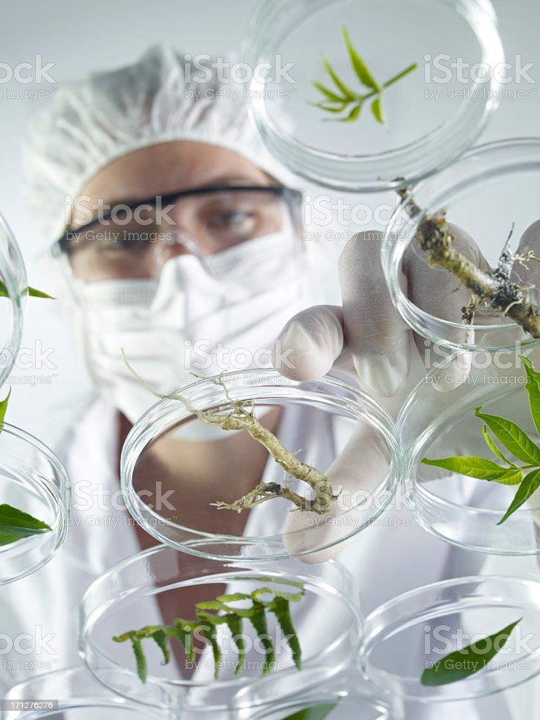 Scientist Examining Petri Dishes royalty-free stock photo