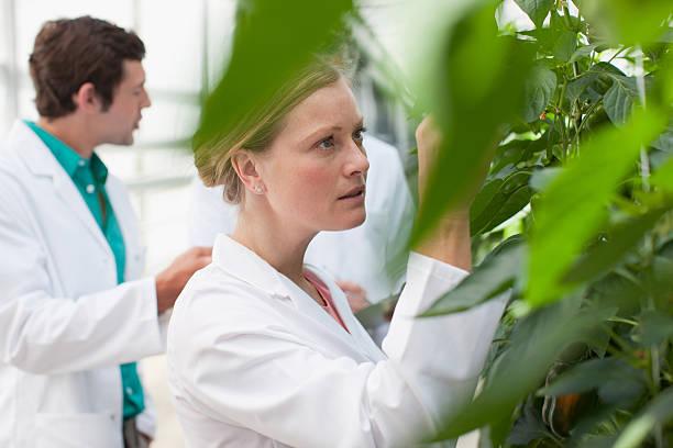 scientist examining plants in greenhouse - miljö bildbanksfoton och bilder