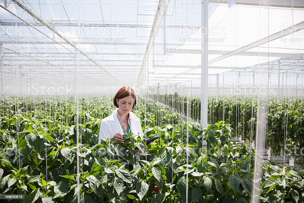 Scientist examining plants in greenhouse stock photo