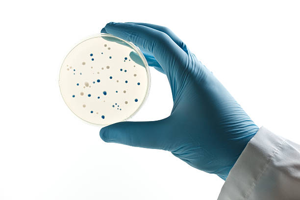 Scientist holding a Petri dish with bacterial clones stock photo