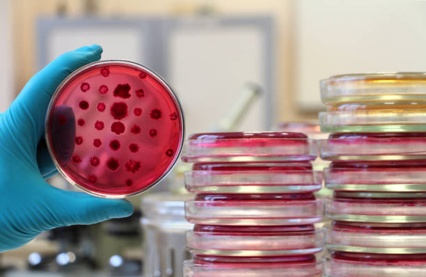 Scientist holding a red Petri dish on the laboratory background Scientist's hand in white lab coat and blue glove holding an opened Petri dish (plate) loaded with red agar Endo covered by bacterial colonies. Escherichia coli and other enterobacteria colonies by microbiological replicator. antibiotic resistant stock pictures, royalty-free photos & images