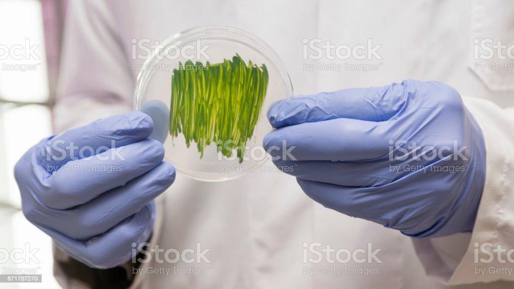 Scientist Holding Petri Dish With Algae stock photo