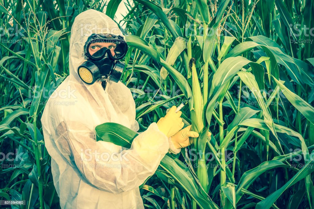 GMO scientist in coveralls genetically modifying corn (maize) stock photo
