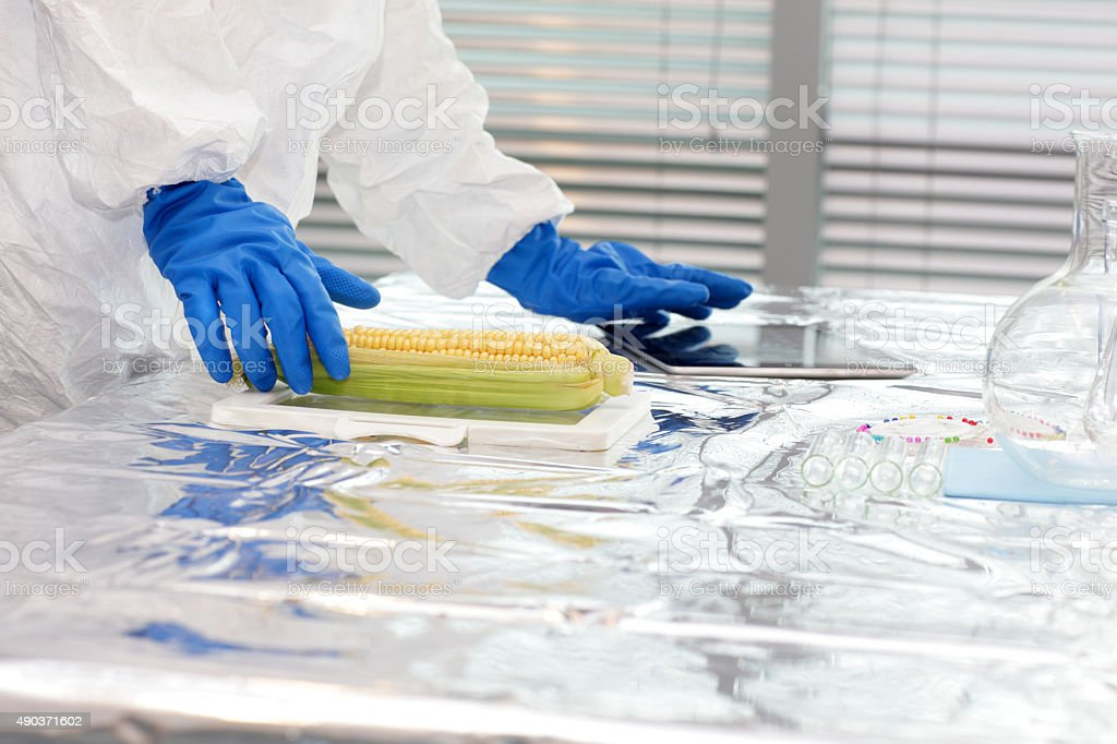 Scientist  in protective gear sweetcorn over the table in lab stock photo