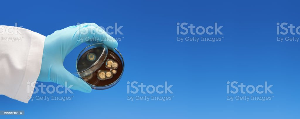 Scientist in white coat and blue gloves holds petri dish with bacterial colonies stock photo