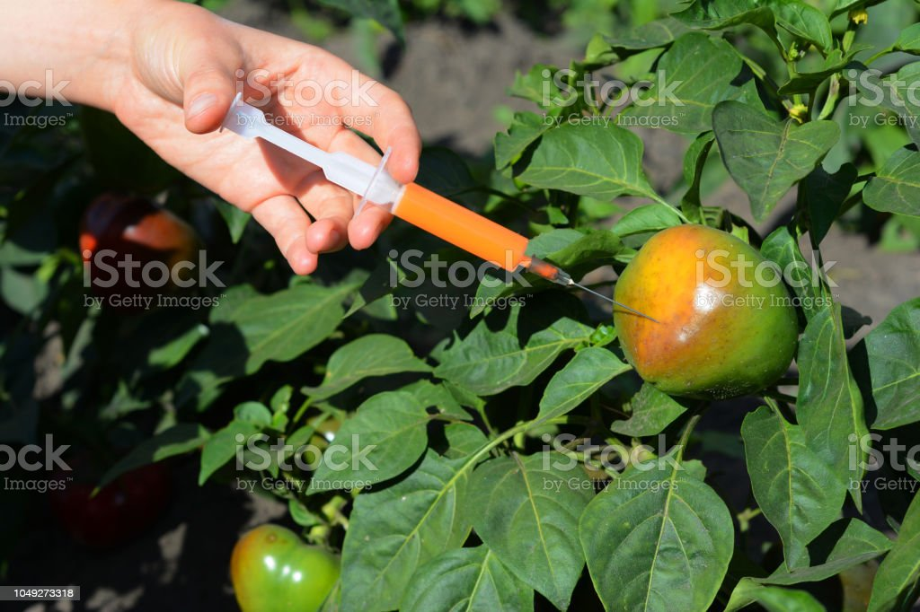 Scientist injecting chemicals into red tomato GMO. Concept for chemical GMO or GM food. Genetically modified food advantages and disadvantages. stock photo