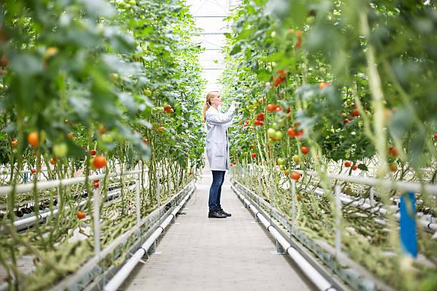 scientist inspecting tomatoes in greenhouse - оранжерея стоковые фото и изображения