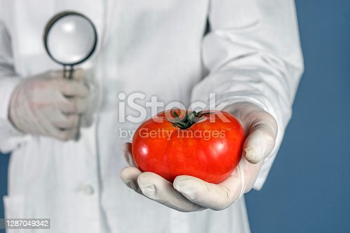GMO scientist looks at red tomato through magnifying glass - genetically modified food concept.