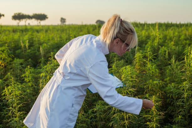 vetenskapsman observera cbd hampa växter på marijuana fältet och med anteckningar - carpel bildbanksfoton och bilder
