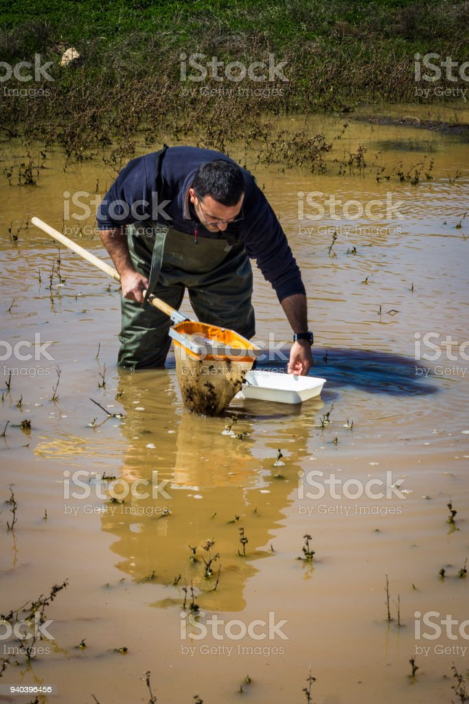 Scientist sampling for biota in a wetland stock photo