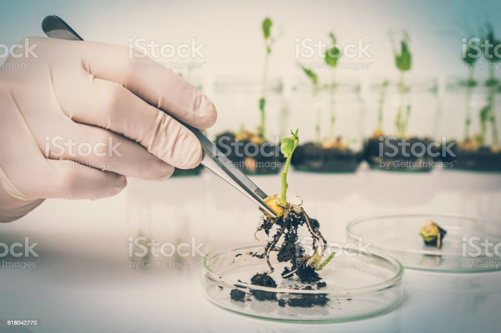 Scientist testing GMO plant in biological laboratory stock photo