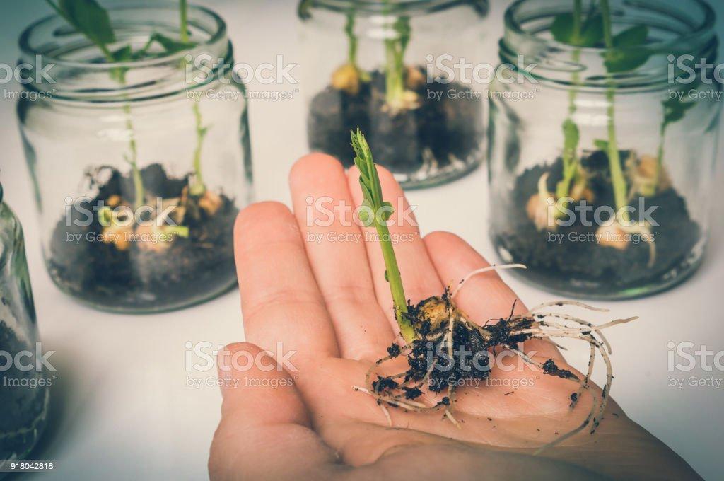 Cientista, testando a planta de OGM em laboratório biológico - foto de acervo