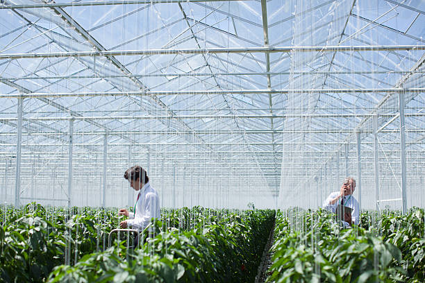 scientists examining produce in greenhouse - genetic modification stock photos and pictures