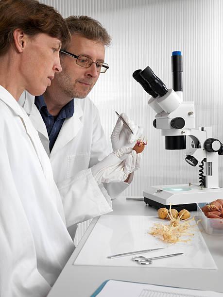 Wissenschaftler untersuchen sprouts von genetischen modificated Kartoffeln im Labor – Foto