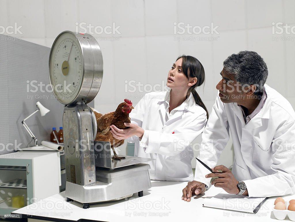 Gli scienziati in laboratorio peso di pollo foto stock royalty-free