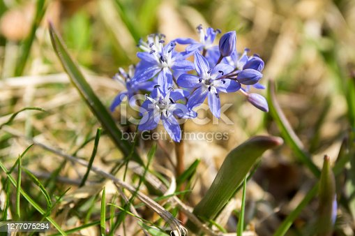 Scilla bifolia blue purple flowers in bloom, two leaf squill bulbous flower, also called alpine squill, lucilles glory or two-leaf squill