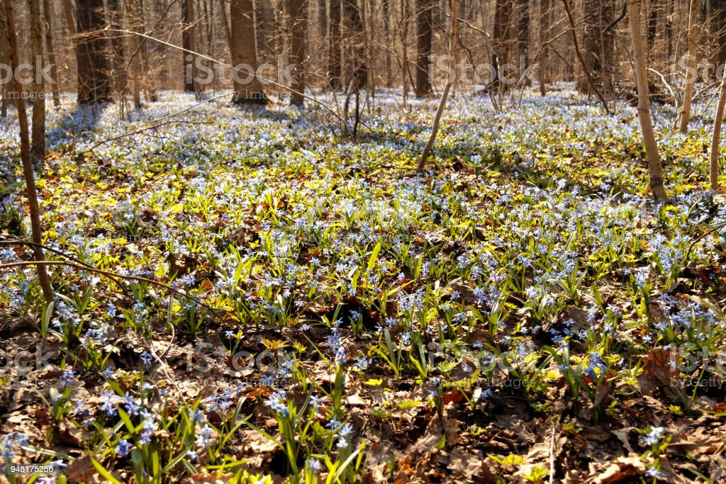 Scilla blue flowers in spring forest stock photo