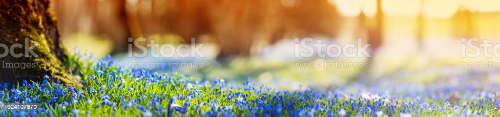 Scilla flowers in the park stock photo