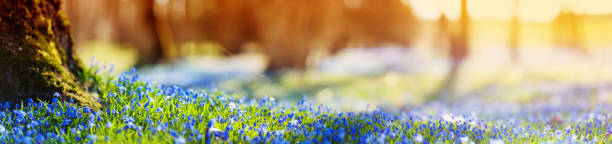 scilla des fleurs dans le parc - paysage mois de mars photos et images de collection