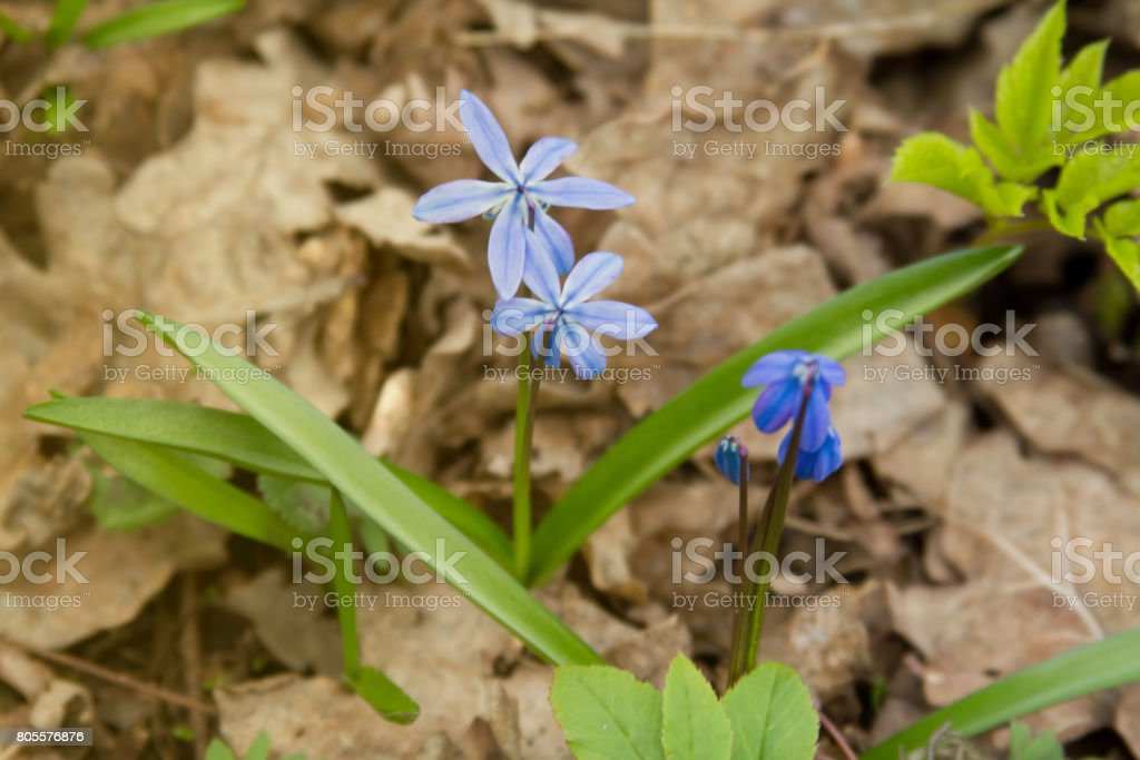 Scilla flowers on forest ground. stock photo