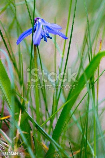 istock Scilla forbesii , spring star 1312535414