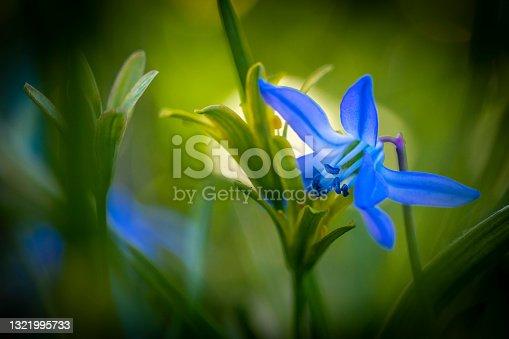 istock Scilla forbesii , spring star 1321995733