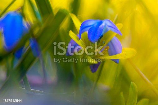 istock Scilla loves spring onion 1317512544