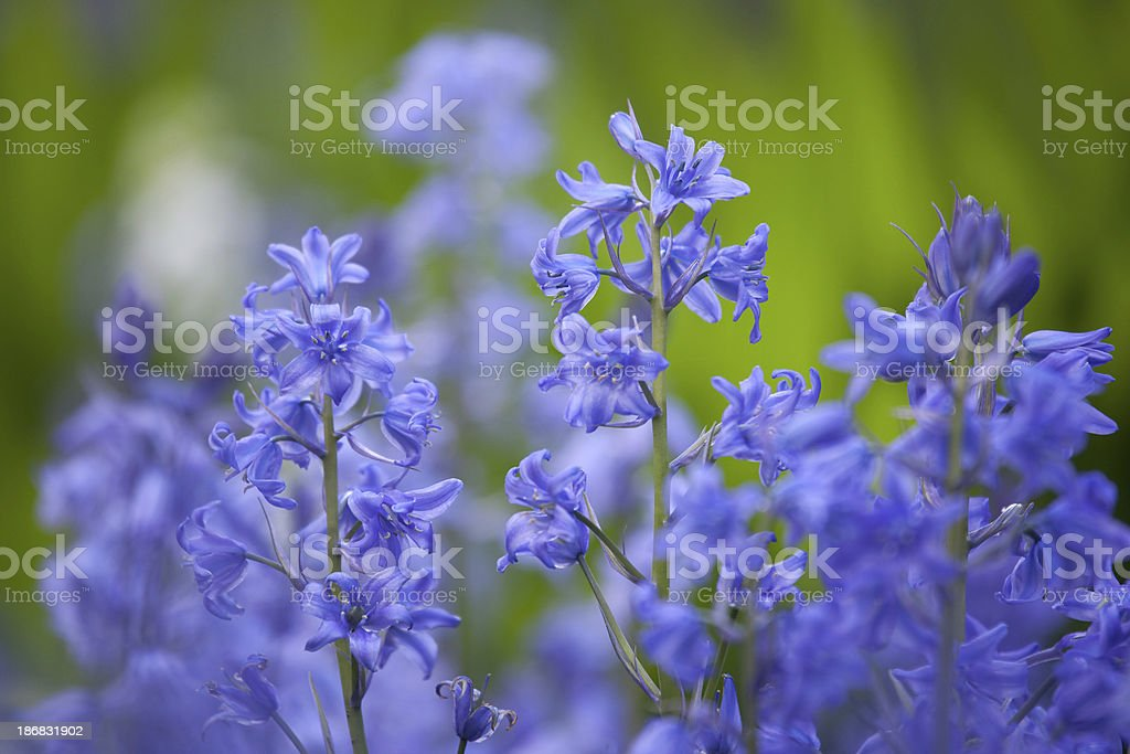 Scilla or Siberian Squill Close-up stock photo