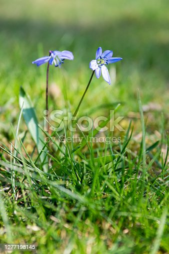 Scilla siberica blue small springtime flowers in the grass, close up view bulbous flowering plant in the grass