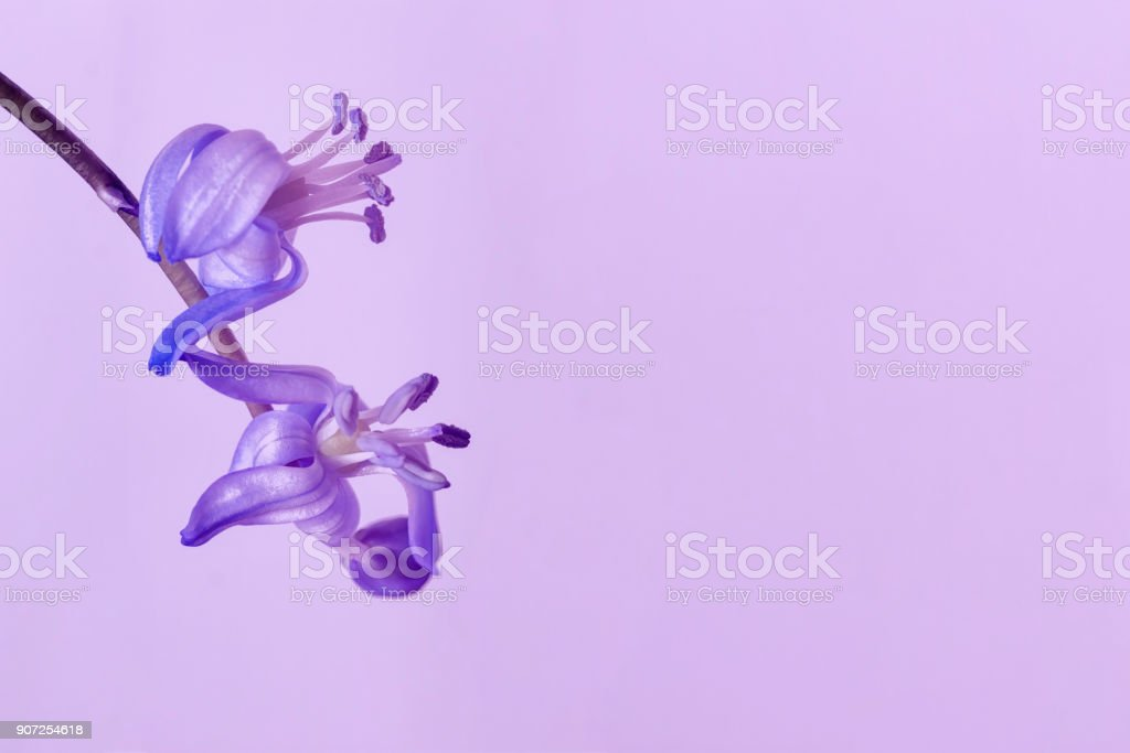 Scilla siberica close-up on light violet background. Delicate primroses. Ultraviolet color of 2018 year for wallpaper, design, banner, poster. Space for text stock photo