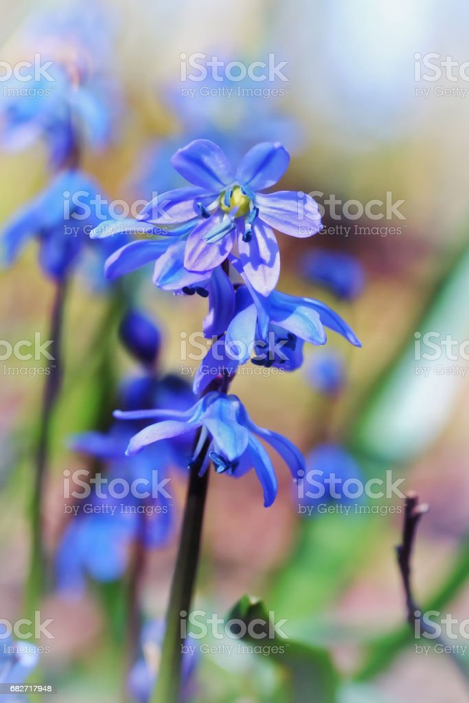 Scilla siberica (Siberian squill or wood squill) stock photo