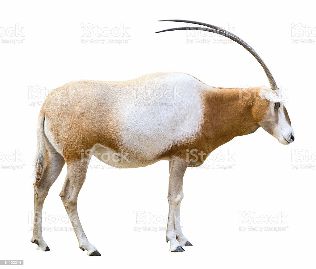 Scimitar Horned Oryx cutout stock photo